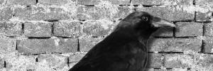 crow_wall-900x300